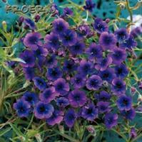 Purpurlobelia 'Regal Purple'