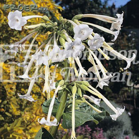 Blomstertobak Narciss-