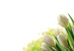 Oasis Kort Ivory Tulips