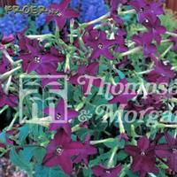 Blomstertobak 'Perfume Deep Purple'