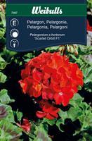 Pelargon scarlet