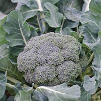 Broccoli 'Ironman' F1