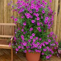 Petunia 'Purple Tower' F1
