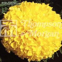 Tagetes Stor 'Discovery Yellow' F1