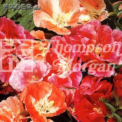 Atlasblomma 'T&M Azalea Flowered Mix'