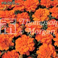 Tagetes Sammets- 'Durango Tangerine' F1