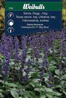 Salvia Dagg- 'Interspecific Big Blue' F1 hög