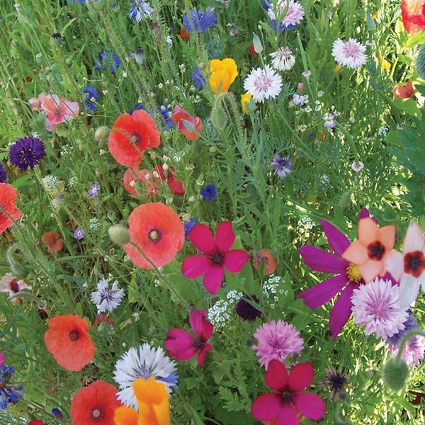 Blomsterblandning ettårig