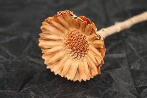 Protea compacta rosett cream 50/fp