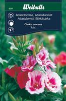 Atlasblomma mix
