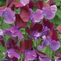 Luktärt 'Purple Pimpernel'