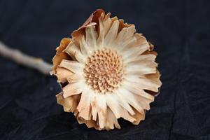 Protea compacta rosett cream 25/fp