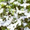 Lobelia Häng- 'White Cascade'