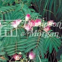 Silkesträd
