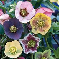 Julros 'Winter Flowering' Mix
