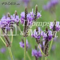 Lavendel 'Oregano'