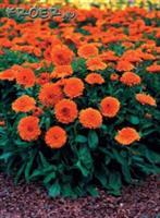 Ringblomma 'Candyman Orange'