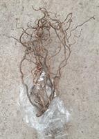 Trollhassel Corylus ca 60 cm 10/bt