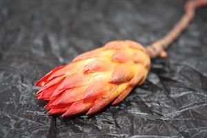 Protea repens röd 20/fp