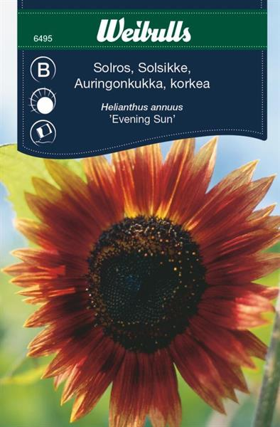 Solros evening sun