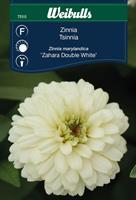 Zinnia Maryland- 'Zahara Double White'