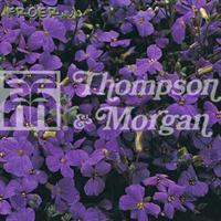 Blåtuva 'Purple Cascade F1'