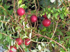 Tranbär Cranberry Pilgrim slutsålda vår 21