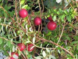 Tranbär Cranberry Pilgrim endast vår