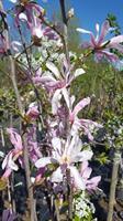 Magnolia Leonard Messel slutsålda