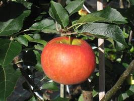 Trulsa sommarfrukt