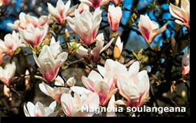 Magnolia soulangeana 60 cm slutsålda