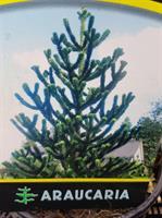 Araucaria Aracana slutsålda