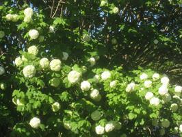 Viburnum Roseum