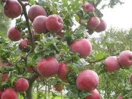 Frukträd omplanter 20 lit kruka