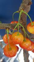 Fryksås Bigarrå gulröd slutsålda höst