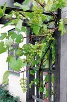 Vindruvor Dr Schmidtmann slutsåld