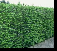 Carpinus betulus 30-50 slutsålda