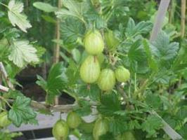 Krusbär Hinnonmäki grön stam