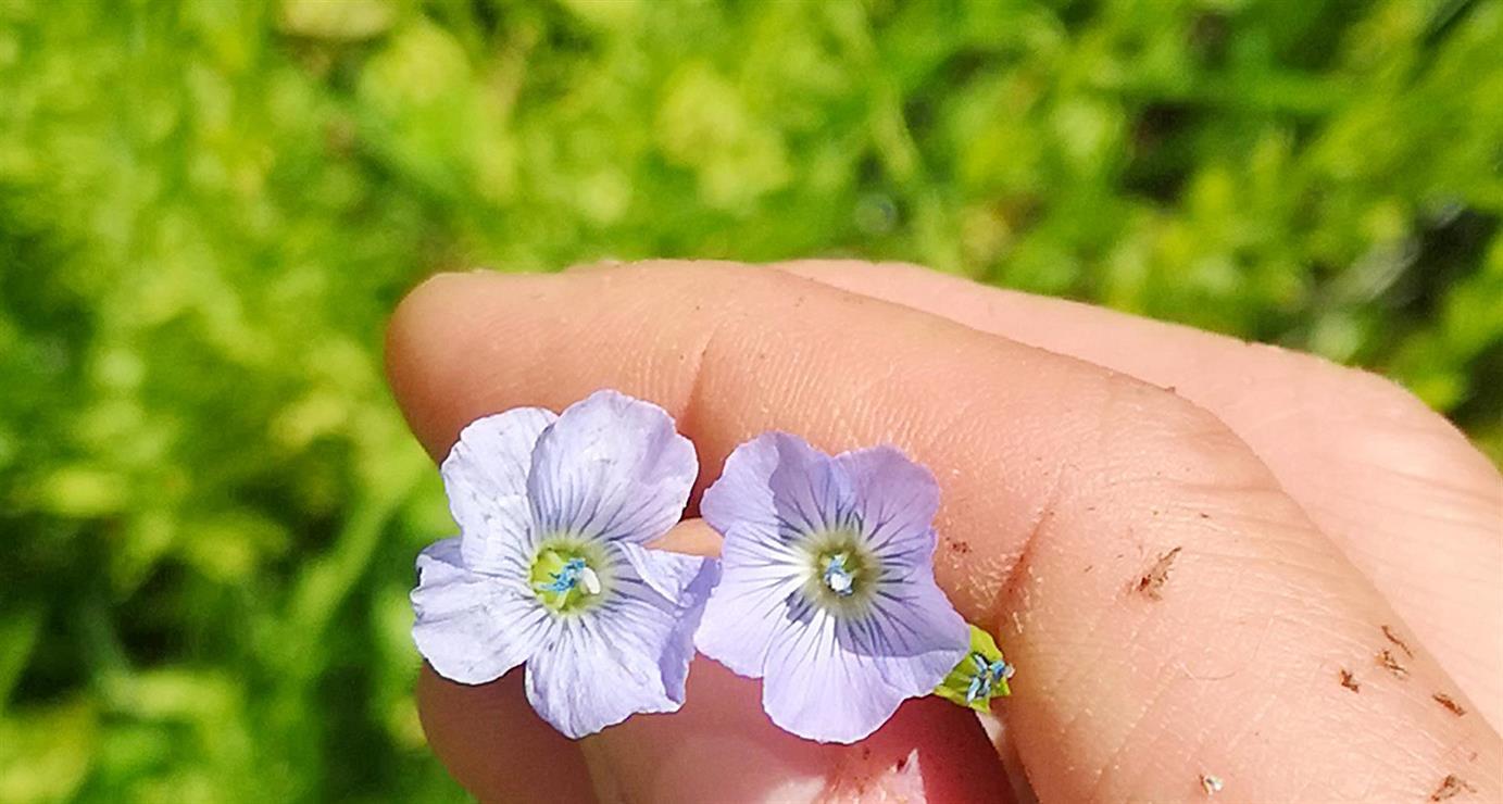 Linplanter - et miljøvennlig naturmateriale