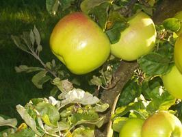 Eriksäpple nyhet höst-vinter äpple