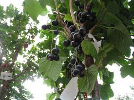 Titania stam svart vinbär