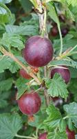 Krusbär Redeva röda stamträd tagglösa