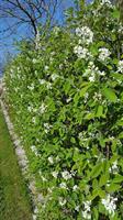 Amelancher spicata 40-60