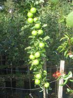 Pelarträd Bolero