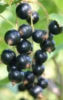 Vinbär Öjebyn svart