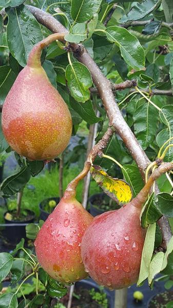 Äkta Gränna rödpäron co