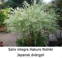 Salix integra Hakura-Nishiki slutsålda vår 2021