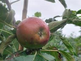 Pelarträd Suncatz skutsålda