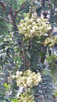 Sorbus frutescens stam