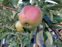 Folke höst äpple Nyhet